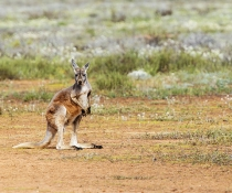Kangaroo, Willandra National Park