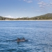 Dolphins in Nelson Bay, Port Stephens with views towards Mount Tomaree.