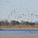 Flock of birds at Tuckerbil Swamp near Leeton