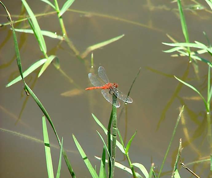 Dragonfly, Whittakers Lagoon along Mehi River, Gwydir