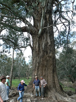 Landholders in the Lachlan valley inspect a Booberoi big tree