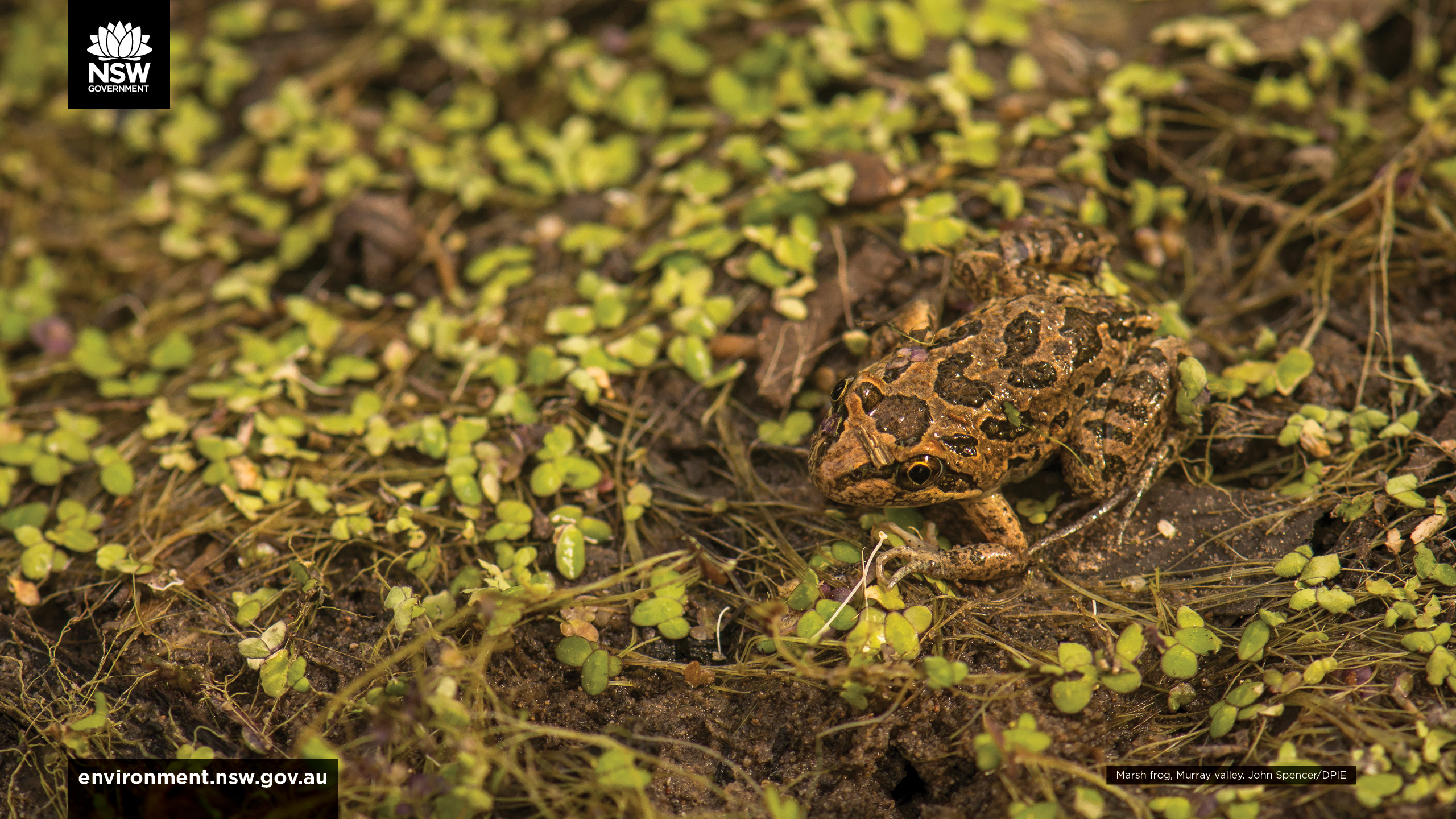 Marsh frog in a natural flood event