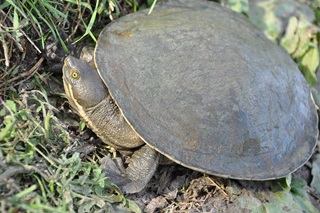 Murray River short neck turtle (Emydura macquarii)