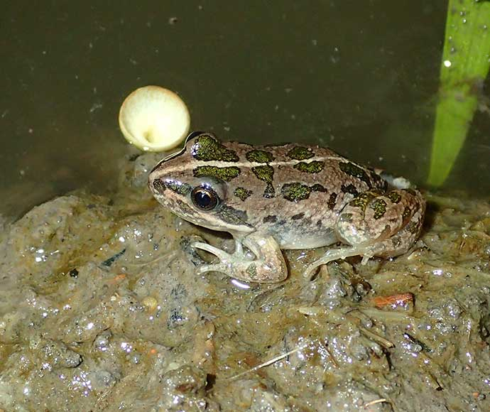 Spotted marsh frog in the Gwydir catchment