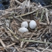 Straw-necked ibis (Threskiornis spinicollis) eggs begin to hatch on reeds in the lower Gwydir wetlands.