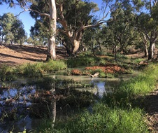 Plants responding to water, Tuppal Creek