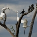 Waterbirds in the tree tops