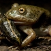 Waterholding frog (Cycloran platycephala) with spotted marsh frog