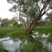 Coolabah at Gingham Watercourse, Gwydir Wetlands