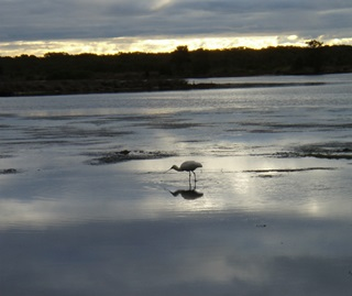 Spoonbill feeding at low tide. Ramsar wetland foreshore of Quibray Bay Towra Point Nature Reserve