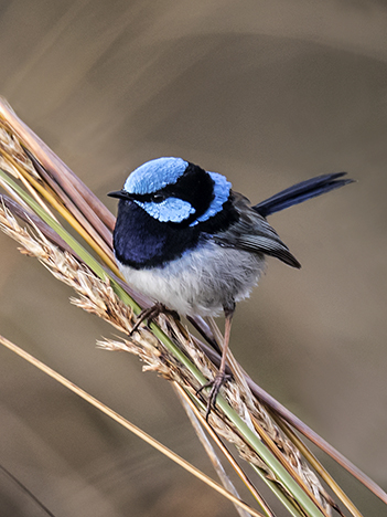 Small superb fairy wren (Malurus cyaneus) male with bright blue head and long dark blue tail perched on a clump of green grass stems and dried grass seeds