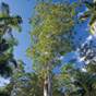 The tallest known tree in NSw is in the Grandis picnic area, Myall Lakes National Park (Image: Ian Brown/OEH)