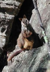 A brush-tailed rock-wallaby, pictured at Capertee Valley, Wollemi National Park