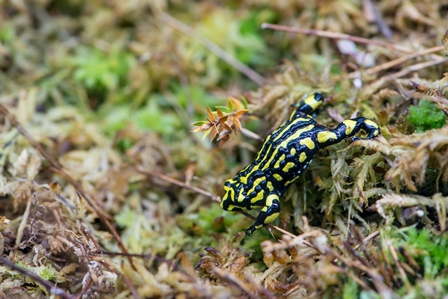 Corroboree Frog, Kosciuszko National Park. (Photo: J Spencer/OEH)