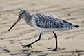 Bar-tailed godwits are threatened shorebirds that depend on Botany Bay for their habitat needs. Photo: OEH