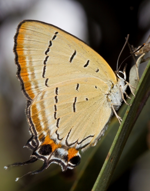 Pale imperial hair-streak butterfly. Photo: B. Thompson