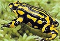 OEH and its partners are successfully breeding southern corroboree frogs in captivity. Photo: D. Hunter